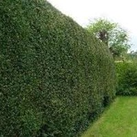 Plants: Hedge